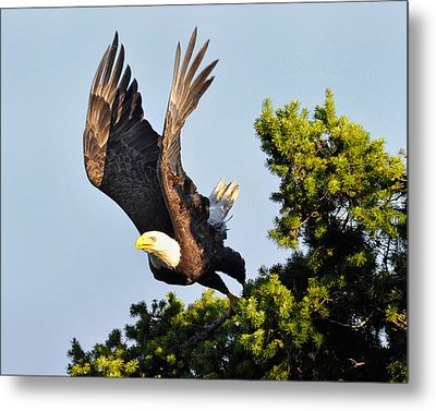 Eagle Takes Off Metal Print by Sasse Photo