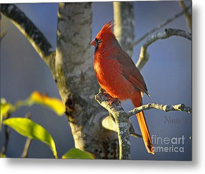 Metal Print featuring the photograph Early Morning Cardinal by Nava Thompson