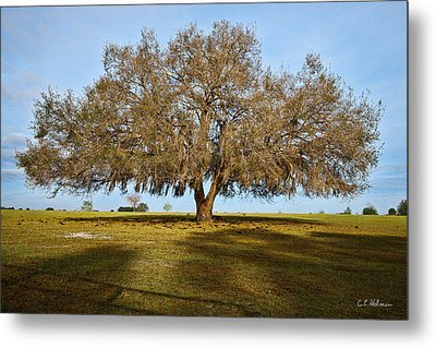 Early Morning Oak Metal Print by Christopher Holmes