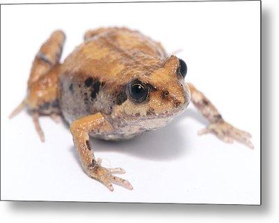Eastern Banjo Frog Isolated On White Metal Print by Brooke Whatnall