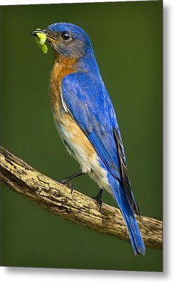 Eastern Bluebird Metal Print by Susan Candelario