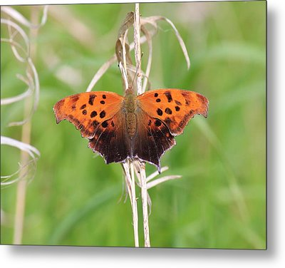 Metal Print featuring the photograph Eastern Comma Butterfly by Penny Meyers