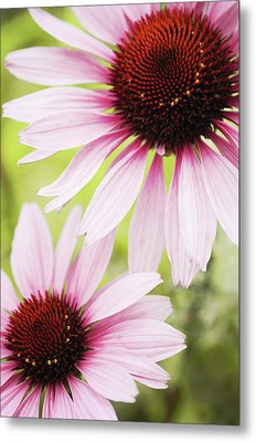 Eastern Purple Cone Flowers Metal Print by Dhmig Photography