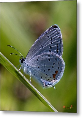 Eastern Tailed-blue Butterfly Din045 Metal Print by Gerry Gantt
