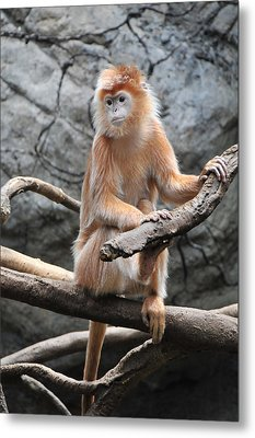Ebony Langur Metal Print by Mike Martin