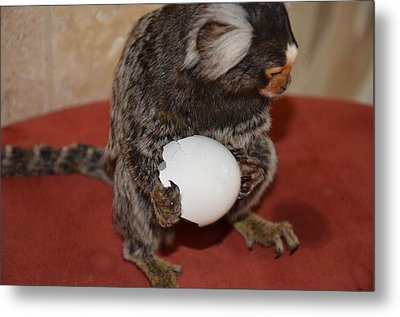Eggs  Chewy The Marmoset Metal Print by Barry R Jones Jr