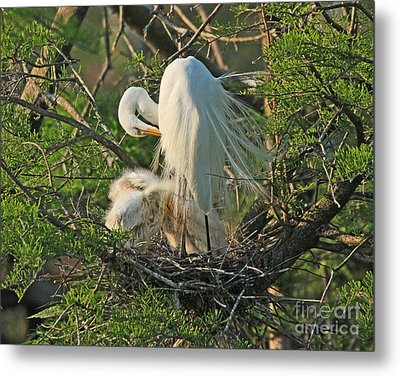 Metal Print featuring the photograph Egret - Mother And Baby Egrets by Luana K Perez