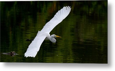 Egret And Gator Metal Print by Andres Leon