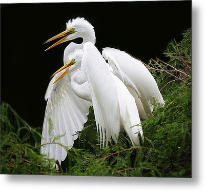 Egret Babies In The Nest Metal Print by Paulette Thomas