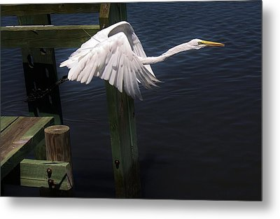 Egret Coming Off The Block Metal Print by Paulette Thomas
