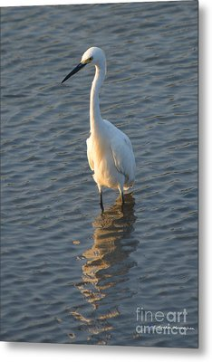 Egret In Marsh Metal Print