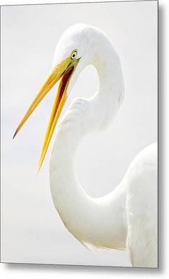 Egret Up Close Metal Print by Paulette Thomas