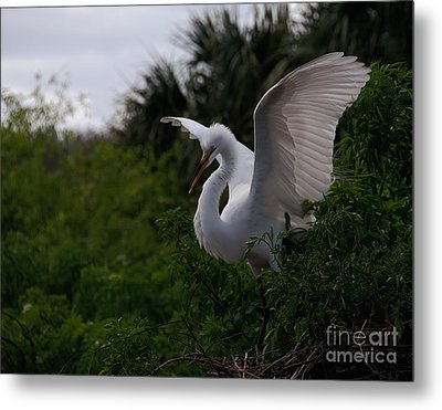 Egret Wings Metal Print by Art Whitton