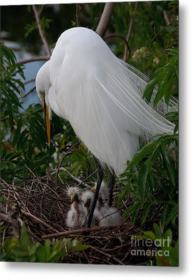 Egret With Chicks Metal Print by Art Whitton