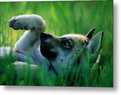 Eight-week-old Captive Gray Wolf, Canis Metal Print by Joel Sartore