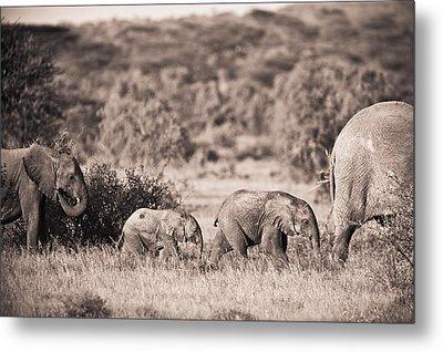 Elephants Walking In A Row Samburu Kenya Metal Print by David DuChemin