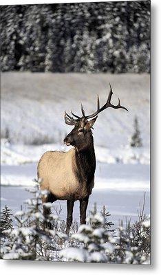Elk Cervus Canadensis Bull Elk During Metal Print by Richard Wear
