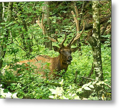 Elk In The Forest   Metal Print by Glenn Lawrence