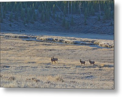 Elk In The Morning Metal Print by Twenty Two North Photography