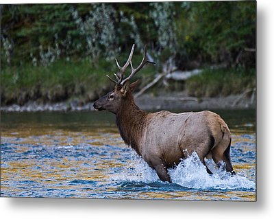 Elk Through Water Metal Print by Maik Tondeur