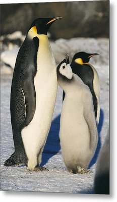 Emperor Penguins With Chick Metal Print by Doug Allan