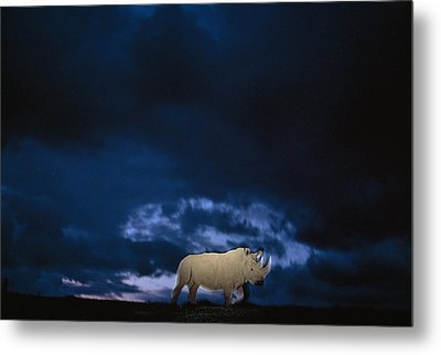 Endangered Northern White Rhinoceros Metal Print by Michael Nichols