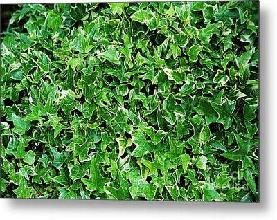 English Ivy (hedera Helix 'kolibri') Metal Print by Archie Young