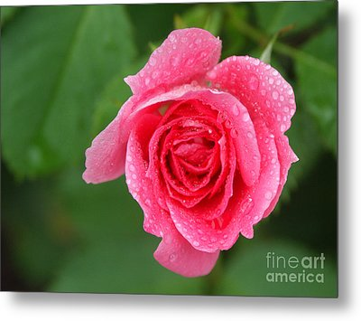 English Rose Metal Print by Bonnie Sue Rauch and Photo Researchers