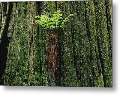 Epiphytic Fern Growing On Redwood Metal Print by Gerry Ellis