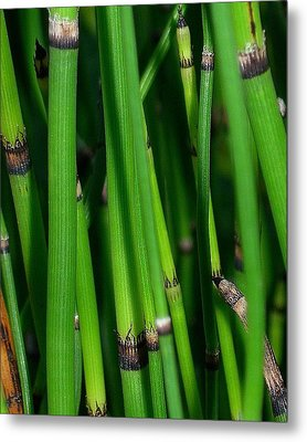 Metal Print featuring the photograph Equisetum by Judi Bagwell