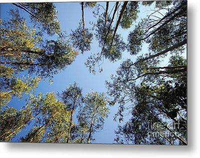 Eucalyptus Metal Print by Carlos Caetano