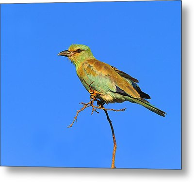 Eurasian Roller Metal Print by Tony Beck