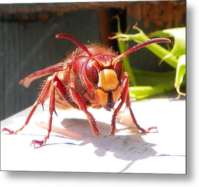 European Hornet Metal Print by Chad and Stacey Hall