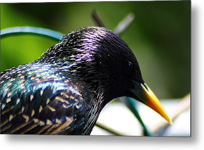 European Starling 2 Metal Print by Scott Hovind
