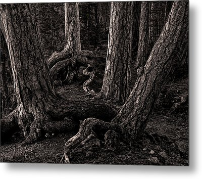 Evening Pines Metal Print