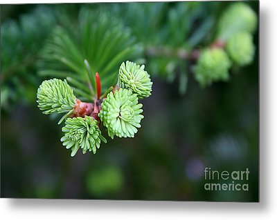 Evergreen Metal Print by Adrian LaRoque