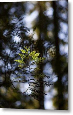 Evergreen Light Metal Print by Mike Reid