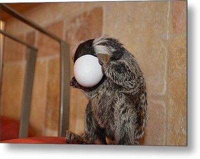 Evolution Of The Motorcycle Helment Chewy The Marmoset Metal Print by Barry R Jones Jr