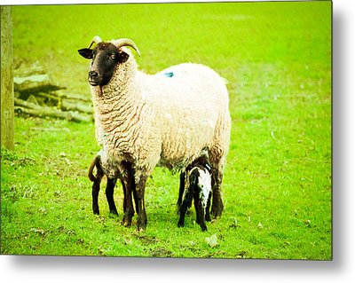 Ewe And Lambs Metal Print by Tom Gowanlock