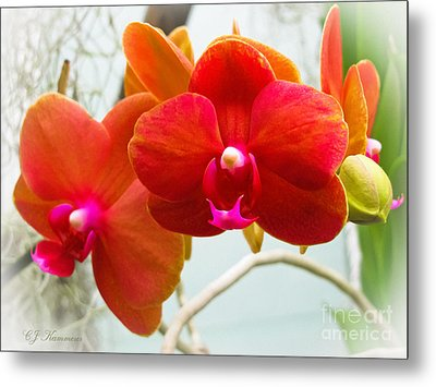 Exotic Orchids Metal Print by Colleen Kammerer