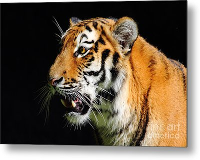 Eye Of The Tiger Metal Print by Holger Ostwald