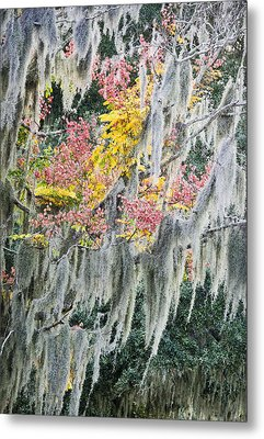 Fall Colors In Spanish Moss Metal Print by Carolyn Marshall