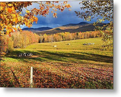 Fall Colours, Cows In Field And Mont Metal Print by Yves Marcoux