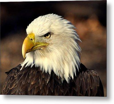 Fall Eagle 4 Metal Print by Marty Koch