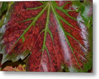 Fall On The Vine Metal Print by Kim Hymes