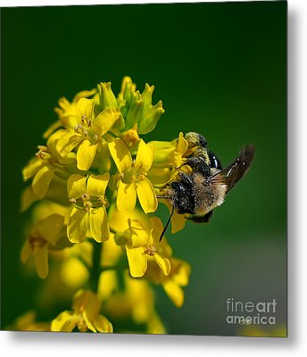 Fanfare For The Common Bumblebee Metal Print by Lois Bryan