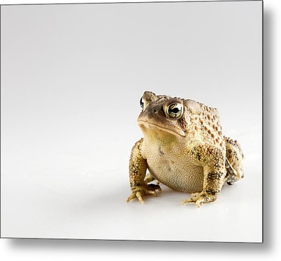 Fat Toad Metal Print by John Crothers