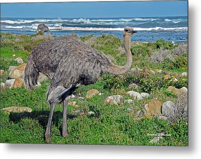 Feathers By The Sea Wild Female E African Ostrich Southern Race Cape Of Good Hope South Africa Metal Print by Jonathan Whichard