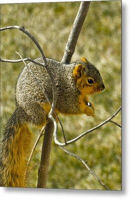 Feeding Tree Squirrel Metal Print by LeeAnn McLaneGoetz McLaneGoetzStudioLLCcom