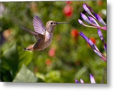 Female Allen's Hummingbird Metal Print by Mike Herdering